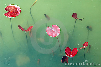 Newborn lotus leaves in pond