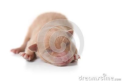Newborn Pomeranian Puppy Sleeping