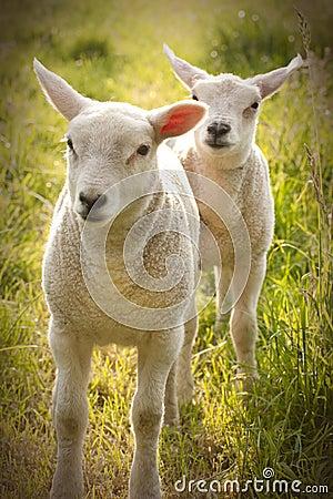 Newborn Spring Lamb sheep