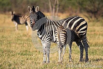 Newborn zebra foal