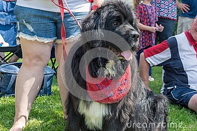 Newfie wearing drool bib Stock Photo