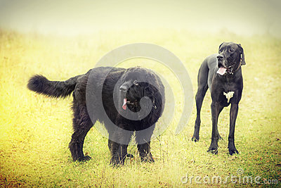 Newfoundland and black dog