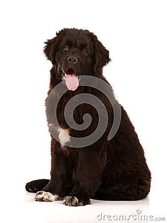 Newfoundland dog sat on white background