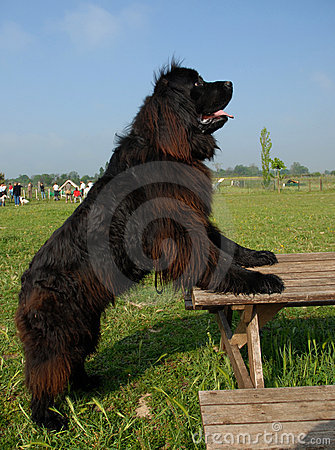 Free Newfoundland Dog Upright Royalty Free Stock Photo - 2395015