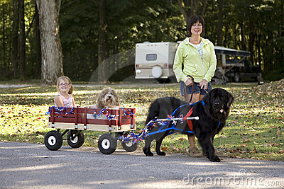 Newfoundland Draft Dog Giving A Wagon Ride.