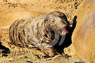 Newly Born Elephant Seal