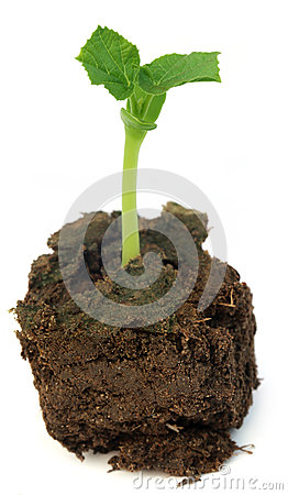 Free Newly Born Seedling Of Green Momordica Stock Images - 40330064