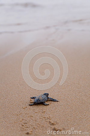 Free Newly Hatched Baby Loggerhead  Turtle Stock Images - 25106574