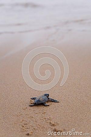 Newly hatched baby Loggerhead  turtle