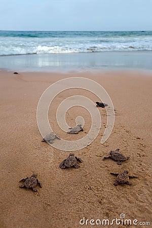 Free Newly Hatched Baby Loggerhead  Turtle Stock Photo - 32960370