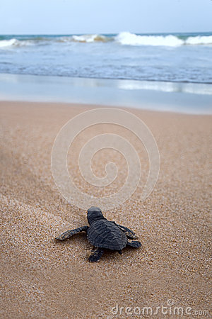 Free Newly Hatched Baby Loggerhead  Turtle T Royalty Free Stock Photography - 32960387
