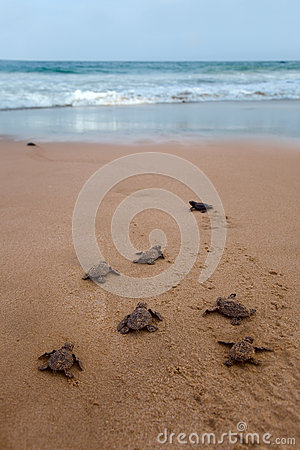 Newly hatched baby Loggerhead  turtle