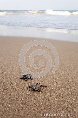Free Newly Hatched Baby Turtles Royalty Free Stock Photos - 25106258
