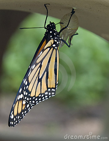 A newly hatched monarch