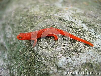 Newt repéré rouge