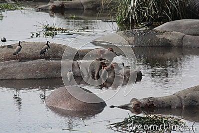 Ngorongoro Crater Hippos