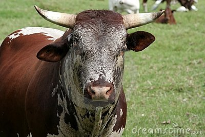 Nguni cattle bull