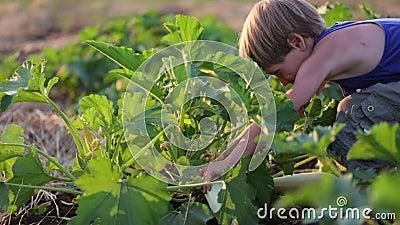 Niño del ` s del granjero que ayuda cosechando el tuétano vegetal orgánico en el campo de la granja del eco metrajes