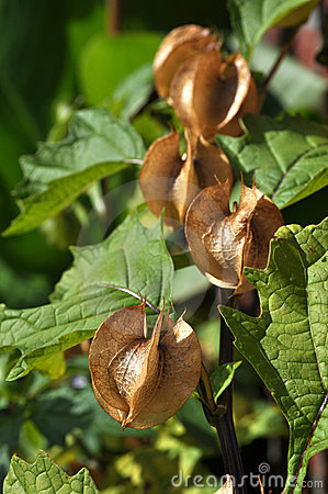 Nicandra physalodes seed capsules
