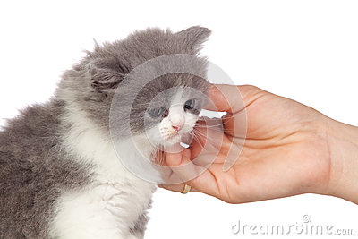 Nice angora cat receiving a caress