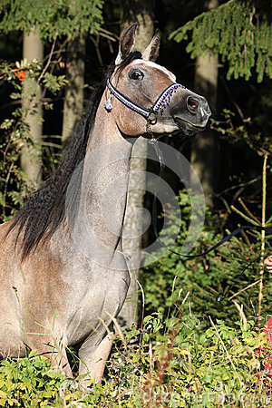 Nice arabian mare with show halter