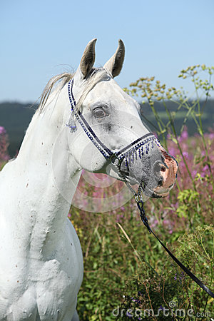 Nice arabian stallion with blue show halter