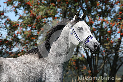 Nice arabian stallion