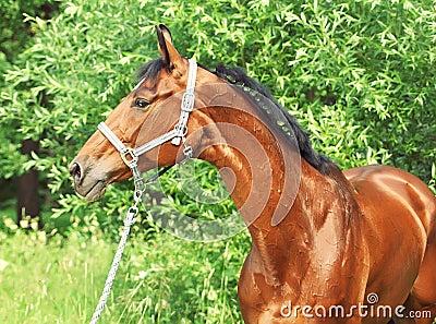 Nice bay gloss  sportive horse