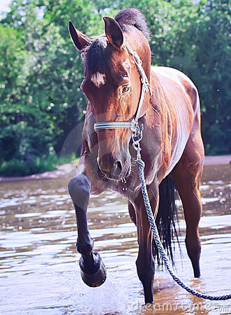 Free Nice Bay Mare In River Stock Images - 20207024