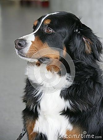 Free Nice Berner Dog 1 Stock Photo - 1992640