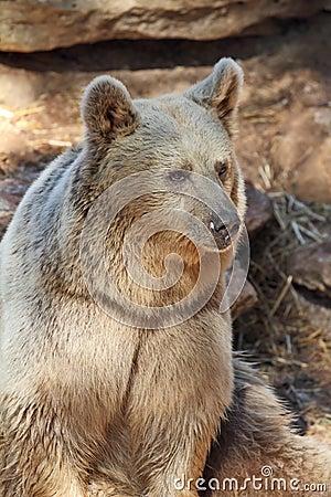 A nice big bear