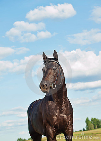 Free Nice Black Horse In Field At Sky Background Royalty Free Stock Images - 23526559