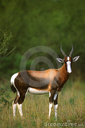 Free Nice Blesbok In Grass Stock Image - 12523481