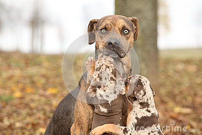 Louisiana Catahoula dog scared of parenting