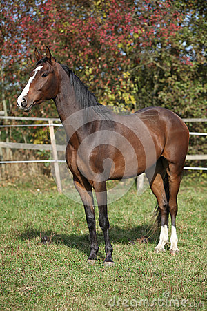 Nice Brown Warmblood In Autumn Royalty Free Stock Photos - Image: 30272018