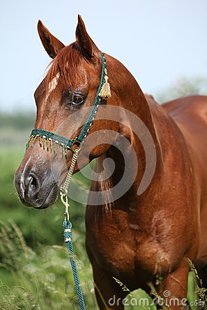 Nice chestnut arabian horse with green show halter