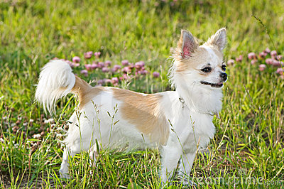 nice chihuahua among green grass and flowers