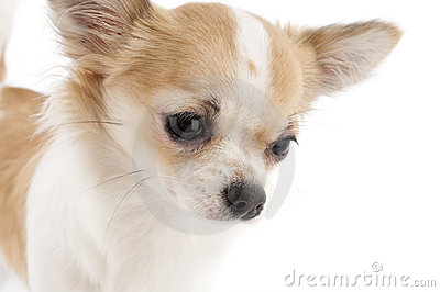 Nice chihuahua looking down close-up
