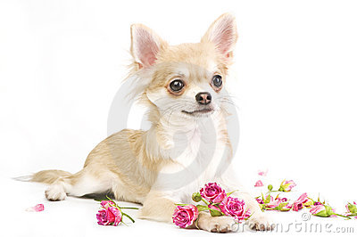 nice chihuahua puppy with roses