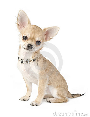 Free Nice Chihuahua Puppy With Necklace Portrait Royalty Free Stock Images - 12323099