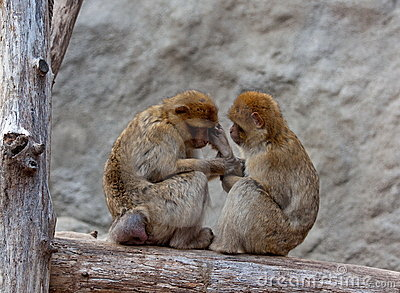 A nice couple of macaques