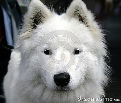 Nice Eskimo dog 1
