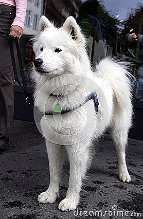 Nice Eskimo dog 2