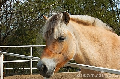 Nice fjord horse
