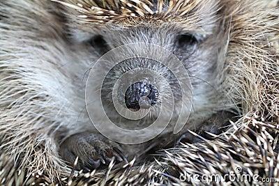 Nice hedgehog animal