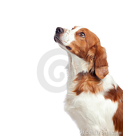 Free Nice Hunting Dog Royalty Free Stock Photography - 15774277