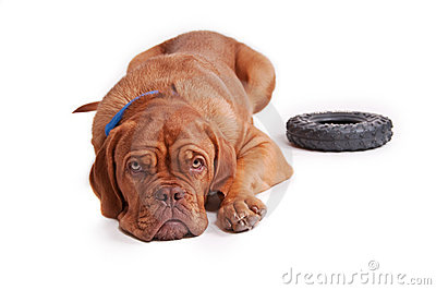 Nice little brown dog