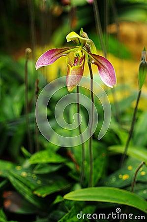 Nice Orchid, Paphiopedilum villosum