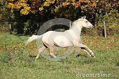 Nice palomino foal running in autumn