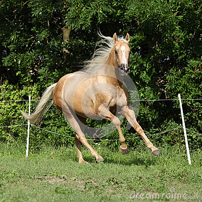 Nice palomino horse with long blond mane running
